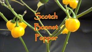 Scotch Bonnet Pepper