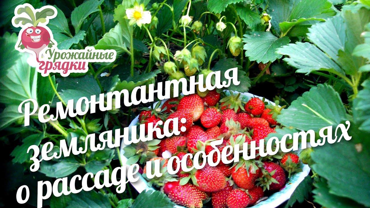 Рассада клубники и земляники продаётся минимум по 6 штук каждого сорта. № пп, наименование товара, высота растения, см, цена за штуку, руб. Земляника ремонтантная рюген, ароматные ягоды с неповторимым вкусом,