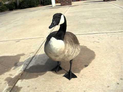 Hissy Canada Goose Nta Canadensis