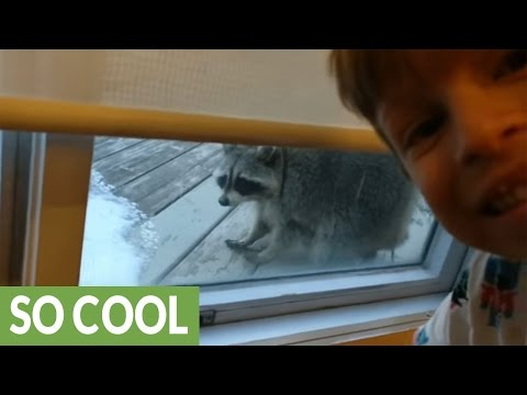 Pesky raccoon peeks into Toronto home