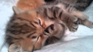 кошка шотландская страйт