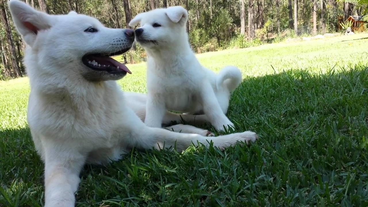 Akita Dog Australia