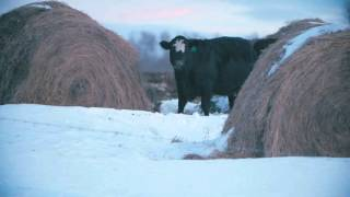 Winter Grazing Systems: Feed Allocations In Bale Grazing