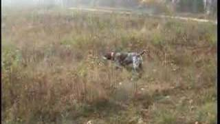 Pheasant Hunting With Winnie German Shorthaired Pointer