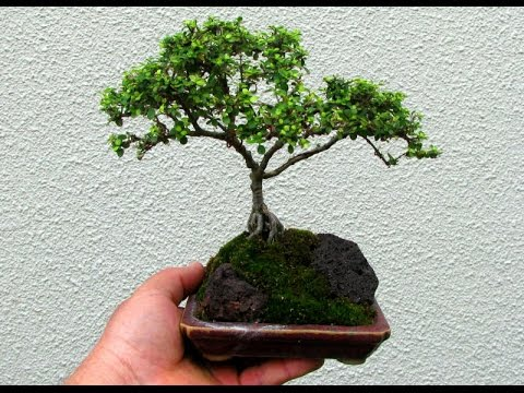 Coprosma as Bonsai