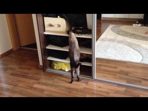 Cute siamese cat, so curios and funny :)