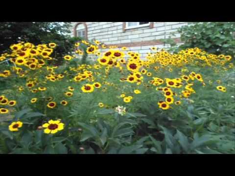 Цветы, похожие на ромашки, для вашего сада