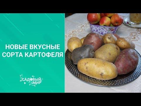 Новые вкусные сорта картофеля