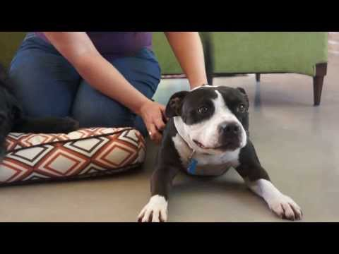 ADOPTED! George, a hilarious 2.5-year old Staffordshire Bull Terrier mix