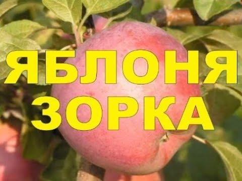 ЗОРКА - СЛАДКИЙ ИМАНТ - ОТ ПЕРВОГО ЛИЦА /// БЕЛАРУСКИЙ САД