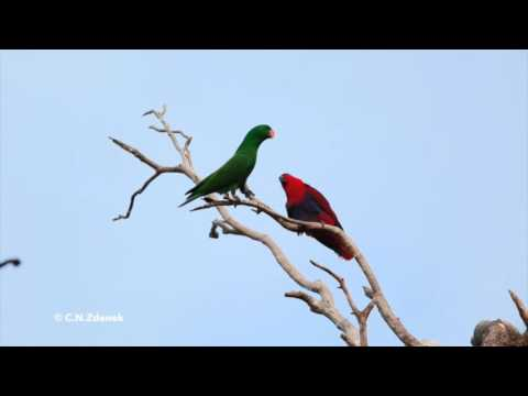 Eclectus Parrot pair (Iron Range), filmed in HD by C.N.Zdenek