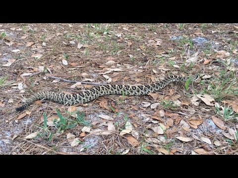 Eastern Diamondback Rattlesnake Close Encounter - SW Florida