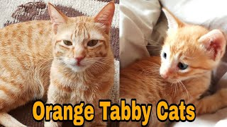 Thing's you didn't know about Orange Cats  Ginger Cats Different tabby configurations!