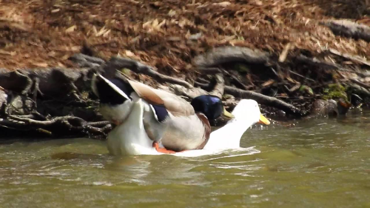 Duck Porn - Duck Porn