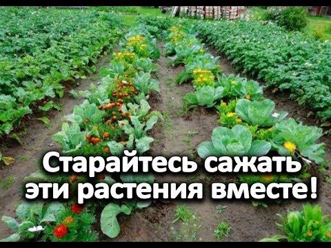 Старайтесь сажать эти растения вместе! | картофеля | растения | посадить | растут | вместе | садят | какие | возле | тени | что