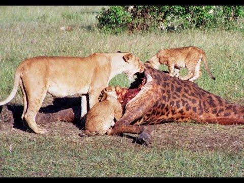 Documental Leones Depredadores De La Sabana Africana Nat Geo Wild Youtube