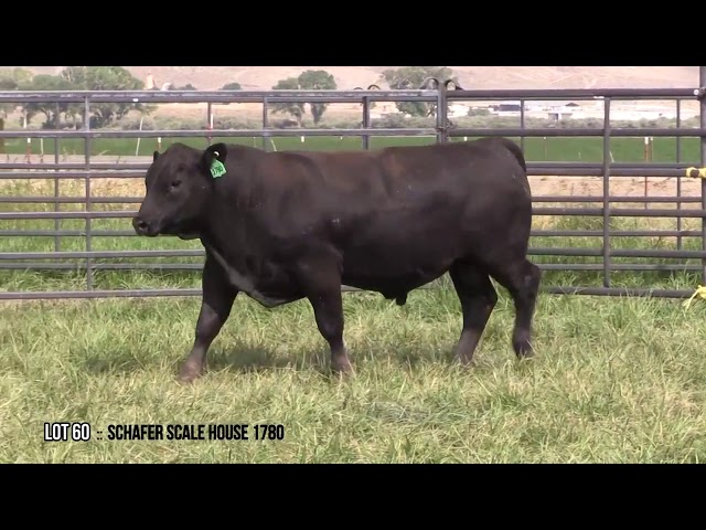 Mid Valley Bull Sale Lot 60