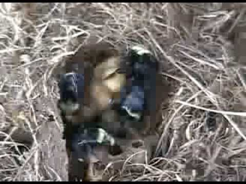 Black Bumble Bee Nest
