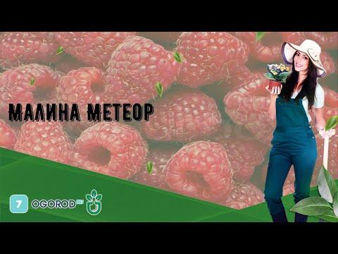 Малина Метеор