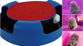 Британские и  Шотландские котята играют с игрушкой поймай мышь