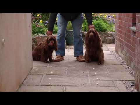 Sussex Spaniel Cheese chase