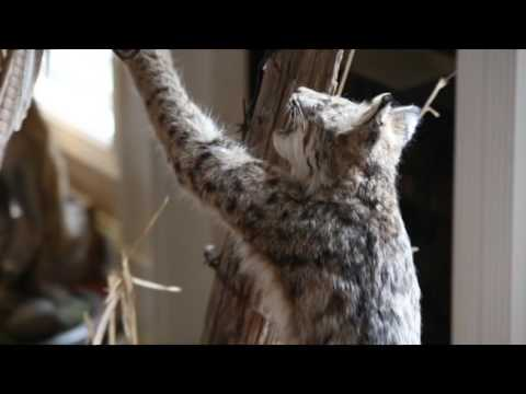 Feature Doc: Cook's Taxidermy