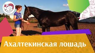 Ахалтекинская лошадь на ilikepet