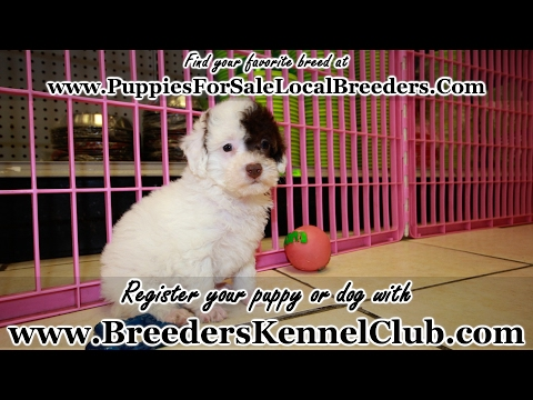 WHITE AND CHOCOLATE TOY POODLE PUPPIES FOR SALE GEORGIA LOCAL BREEDERS