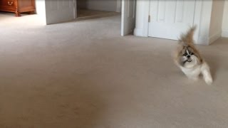 Shih Tzu Dog Lacey Running Around The Room Zoomies!