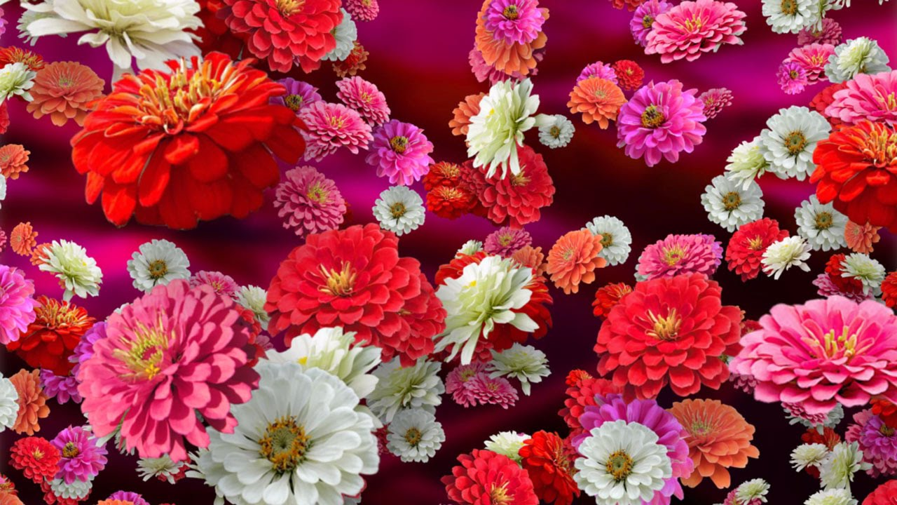 Colorful Zinnias - Floral Background for Videos - YouTube