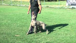 Afra ( Weimaraner ) - Positive Reinforcement - Obedience Dog Training