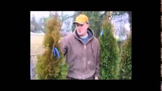 Evergreen Care   Planting Emerald Arborvitae