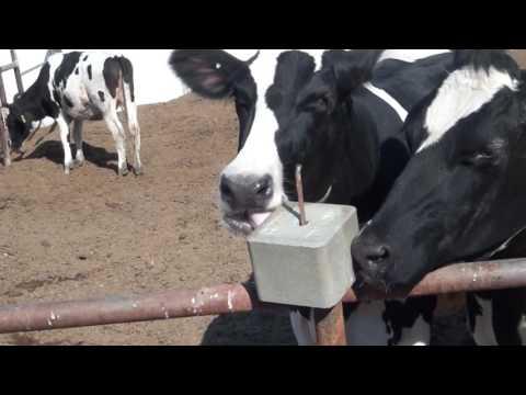 Cows licking a salt cube (1 hour)