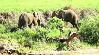 Бой слонов