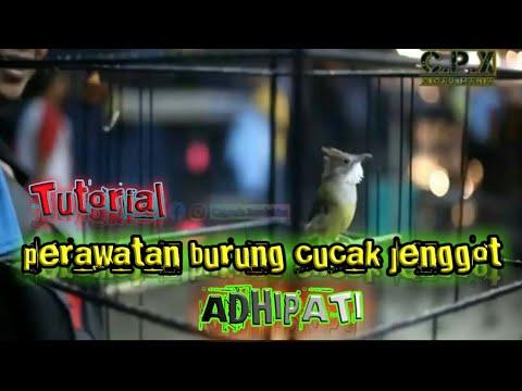 Cara Perawatan Burung Cucak Jenggot Agar Tetap Gacor Di Rumah Atau Di Gantangan Adhipati Youtube
