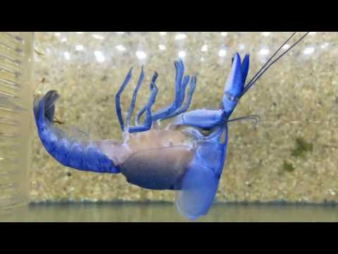 Incredible Footage Of A Moulting Crayfish