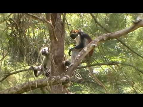 Red Colobus Monkeys Zanzibar