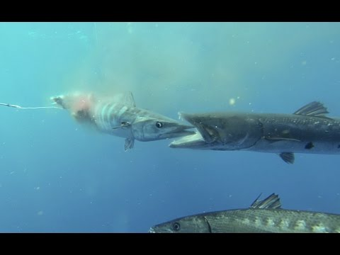 Spearfishing Chesapeake Bay and Outer Banks