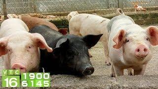Giá lợn hơi miền Bắc cao nhất cả nước | VTC16
