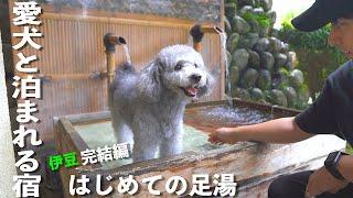 🐶愛犬と泊まれる宿 伊豆の旅完結!はじめての足湯体験をした犬【トイプードル】