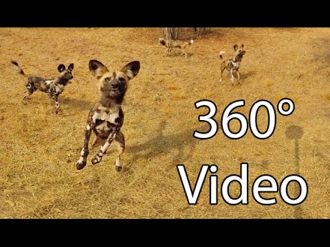 What It's Like Being Surrounded by Wild Dogs -- 360° Virtual Reality