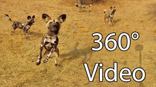 What  Ts Like Being Surrounded By Wild Dogs    360° Virtual Reality