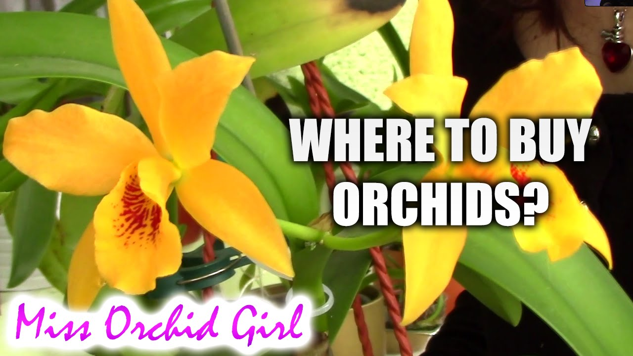 Where to buy orchids Tips on buying great orchids  YouTube