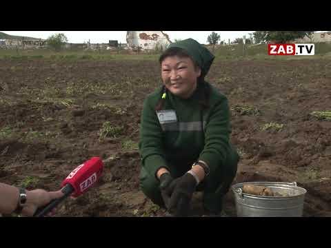 ZAB.TV: Заключенные Нерчинской колонии копают картошку, чтобы купить себе сигареты и конфеты