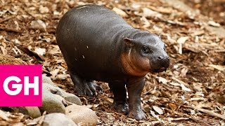 Watch Fiona the Baby Hippo Take Her First Steps and Squeal Forever | GH