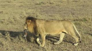 Male Lion with baby Gazelle