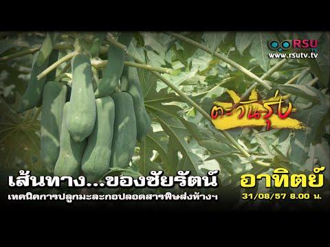 ตะวันรุ่ง : เส้นทางของชัยรัตน์ เทคนิคการปลูกมะละกอ
