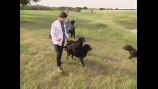 Dog Breeds  FlatCoated Retriever. Dogs 101 Animal Planet