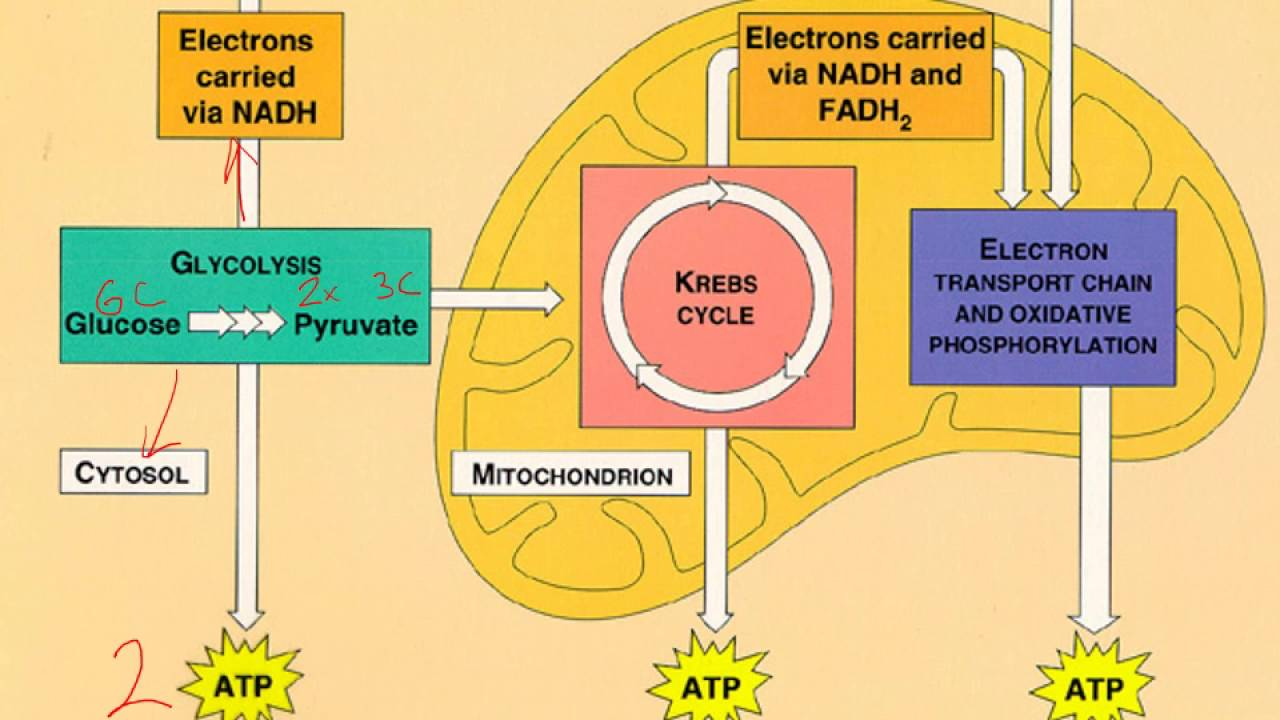 Four Stages Of Cellular Respiration Quiz - ProProfs Quiz