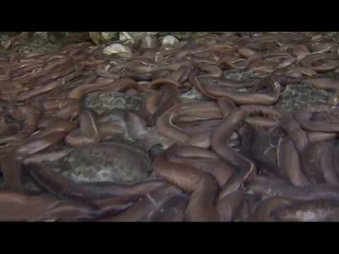 Truck overturns, spilling slime eels on highway